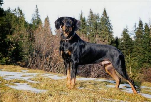 Austrian Black and Tan Hound Dog: Austrian Black And Tan Hound Hunting Breed