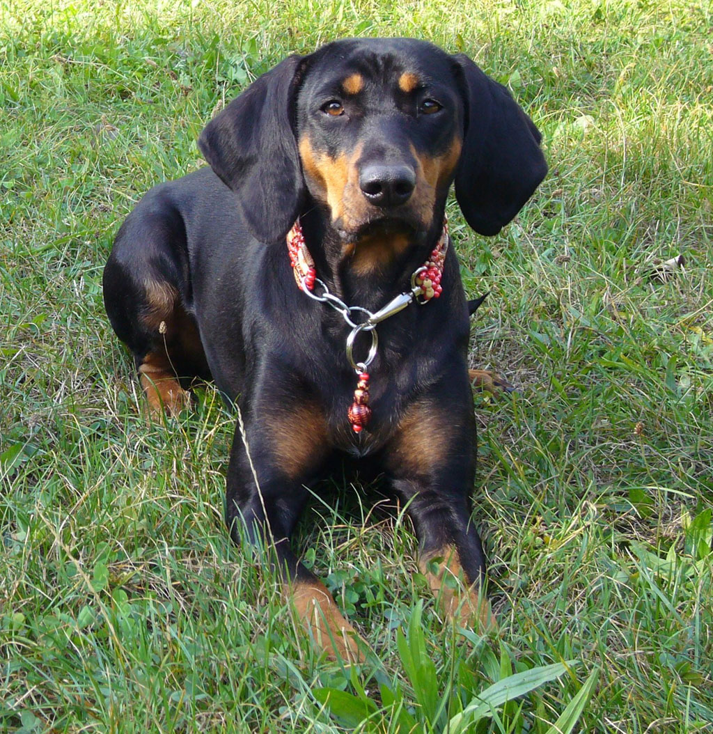 Austrian Black and Tan Hound Dog: Austrian Sabueso Austriaco Negro Y Fuego Breed