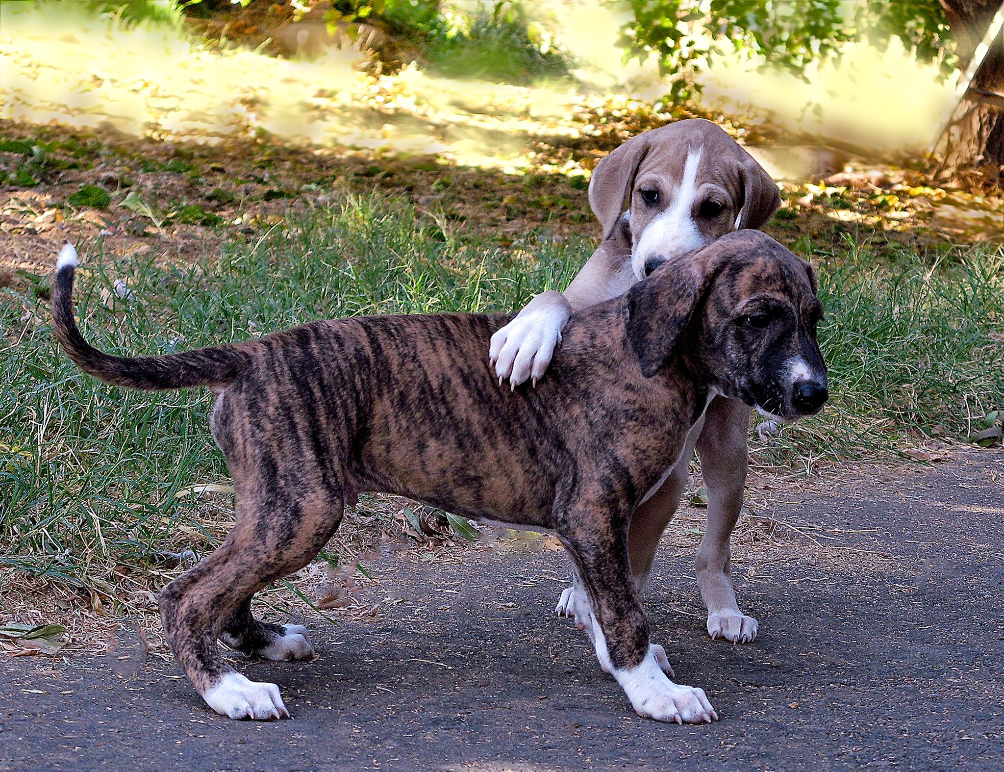 Azawakh Puppies: Azawakh Azawakh Breed