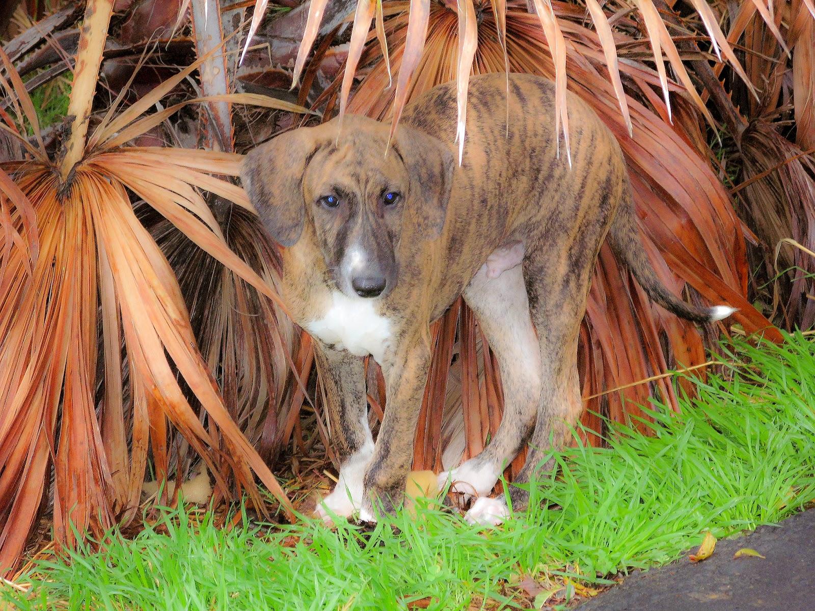 Azawakh Puppies: Azawakh Azawakh Puppies Play In Rain Breed