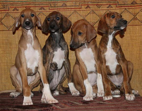 Azawakh Puppies: Azawakh Gpn Breed