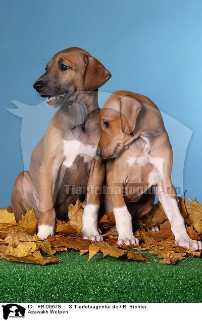 Azawakh Puppies: Azawakh Rr Breed