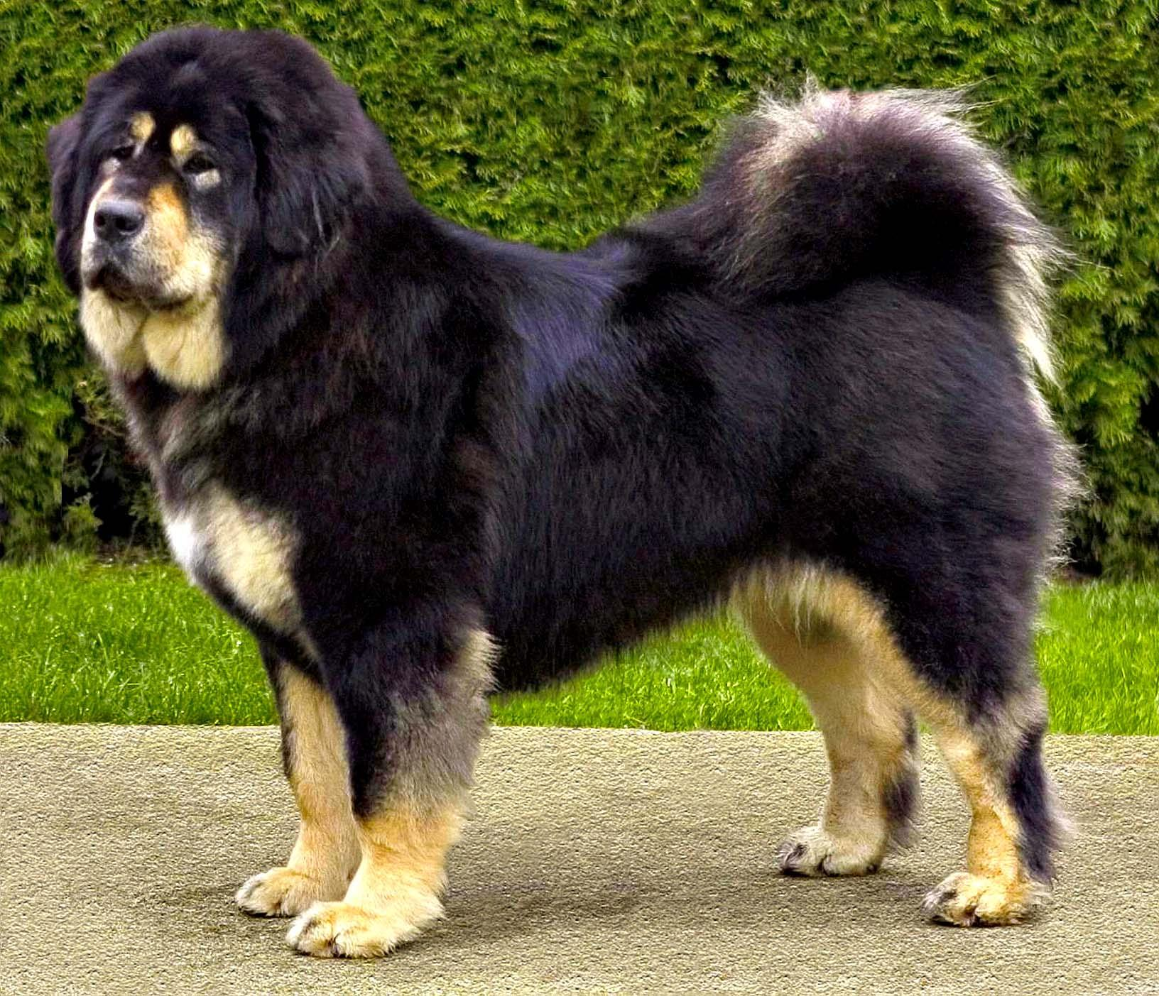 Bakharwal Puppies: Bakharwal Beautiful Tibetan Mastiff Dog Breed
