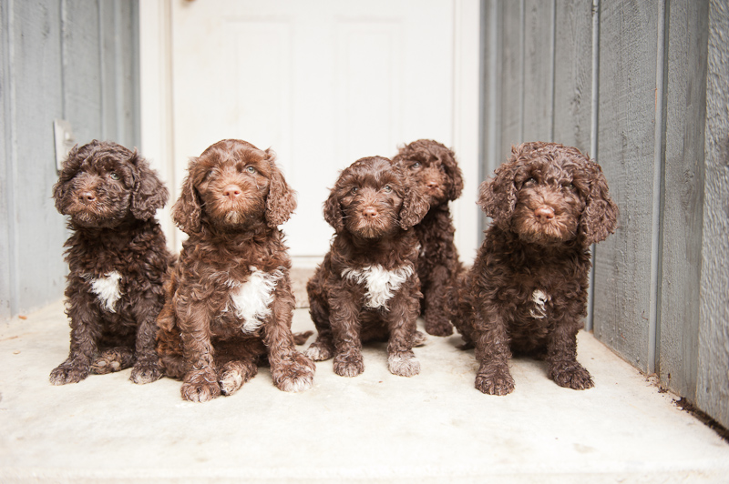 Barbet Puppies: Barbet Barbet Puppy S In America At Weeks Old Breed