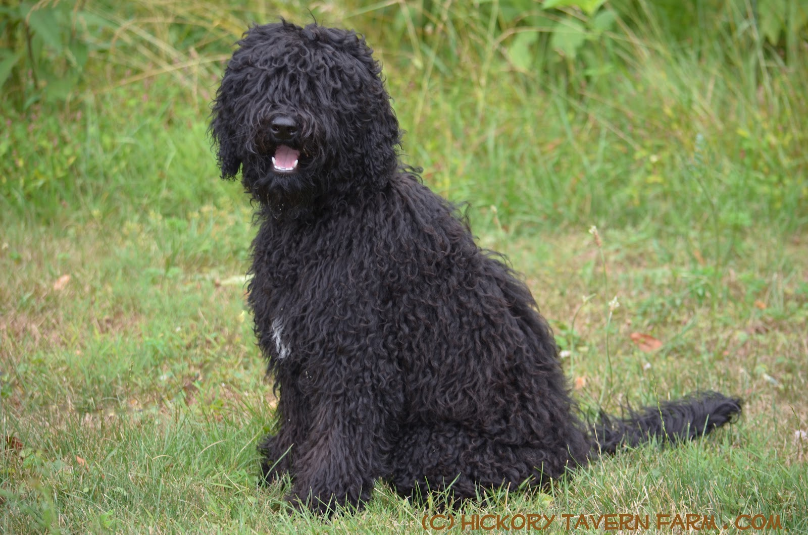 Barbet Puppies: Barbet Our Barbet Puppy Solene At Months Breed
