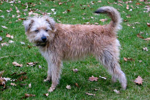 Basque Ratter Dog: Basque Bonney Dutch Smoushond Dog Breed