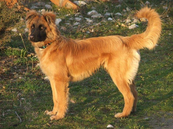 Basque Shepherd Dog: Basque Breed