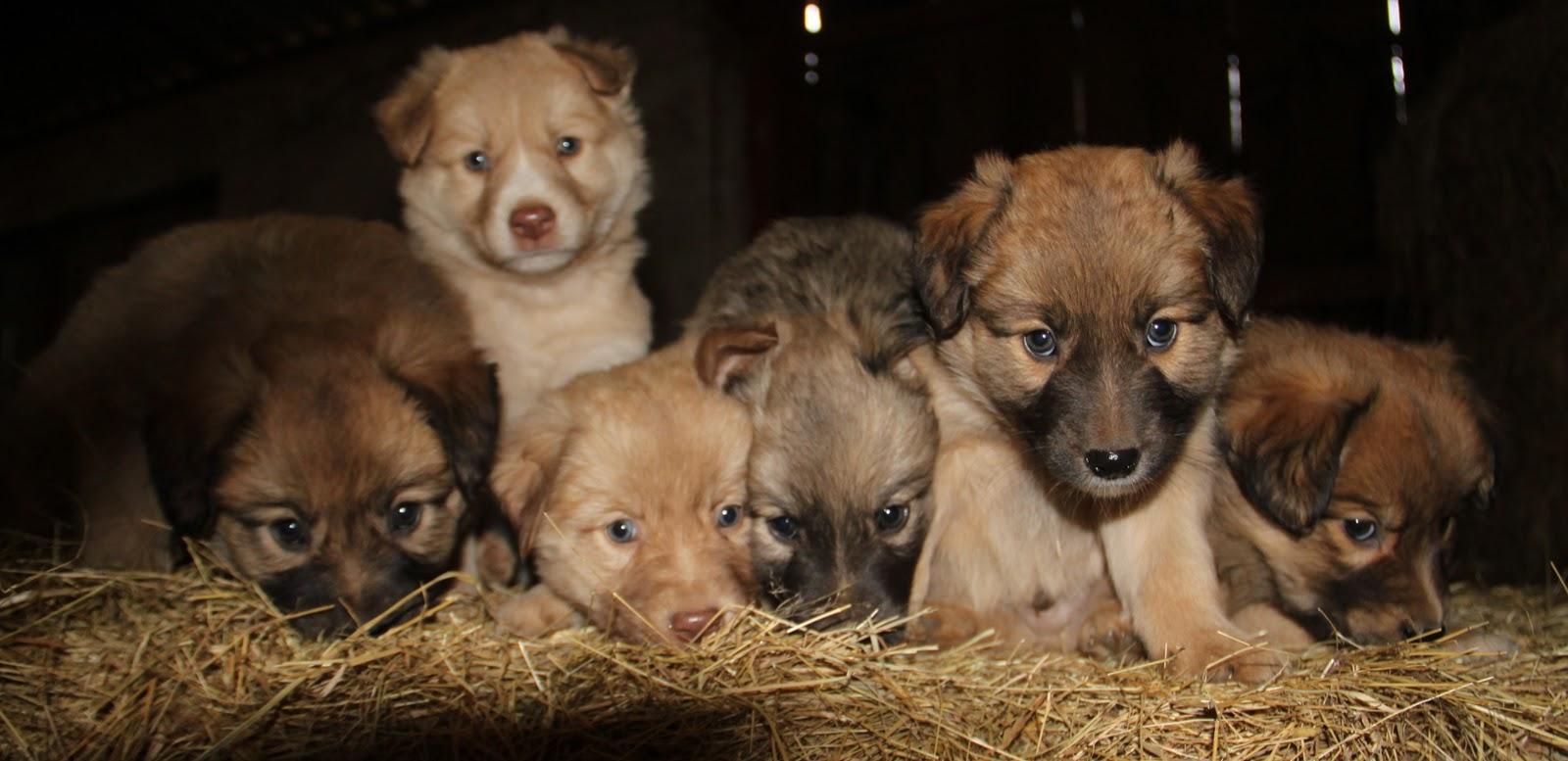 Basque Shepherd Puppies: Basque Puppies In Sheepbarn Breed