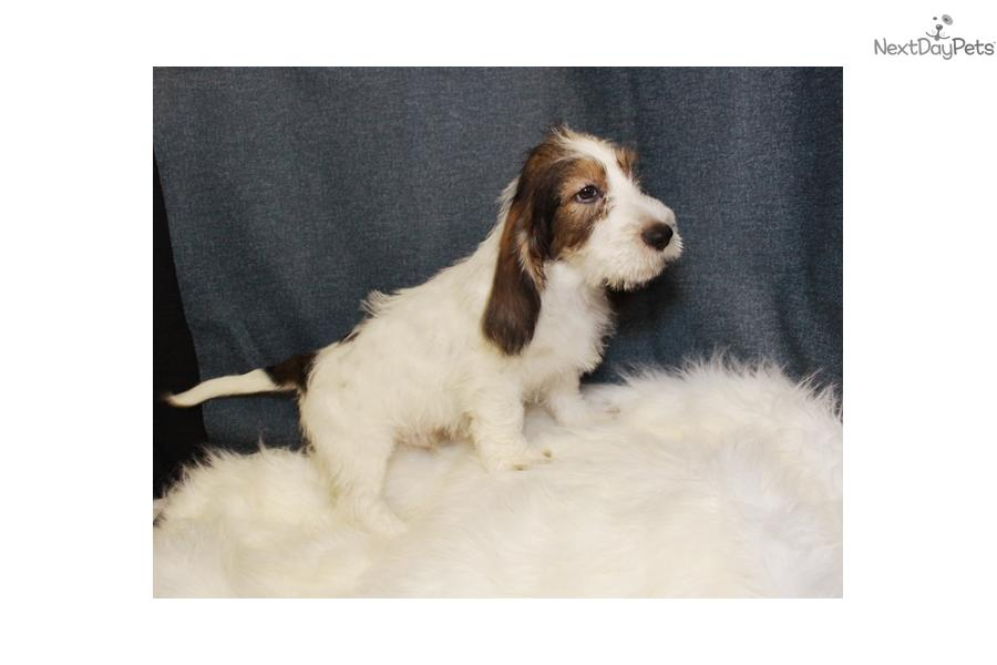 Basset Griffon Vendéen, Petit Puppies: Basset A Breed