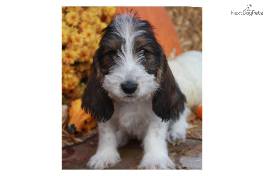 Basset Griffon Vendéen, Petit Puppies: Basset Adcfa Bd Breed
