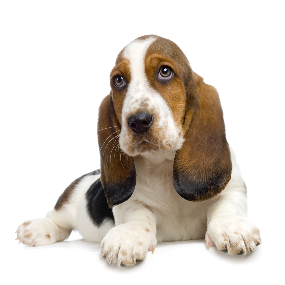 Basset Hound Dog: Basset Basset Hound Puppy Pictures Information Breed