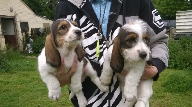 Basset Griffon Vendéen, Petit Puppies: Basset Basset Petit Griffon Vendeen Puppies For Sale Rowlands Gill Breed