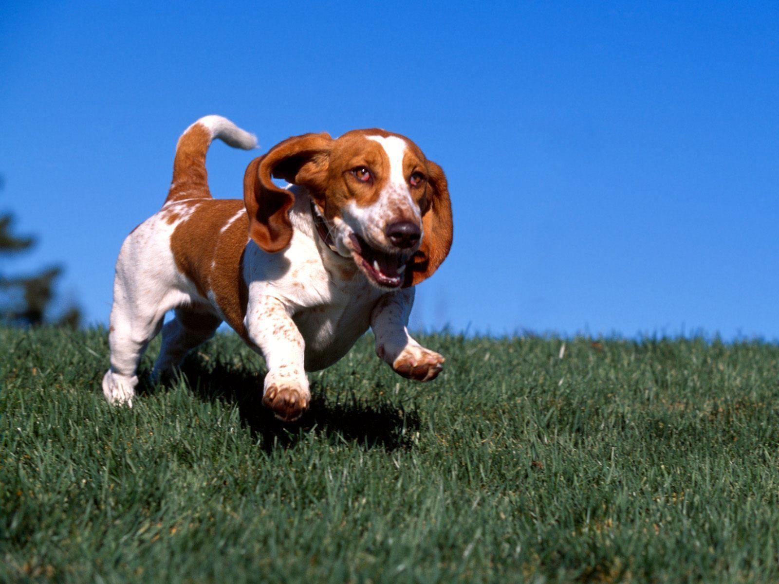 Basset Hound Dog: Basset Bassett Hound Breed