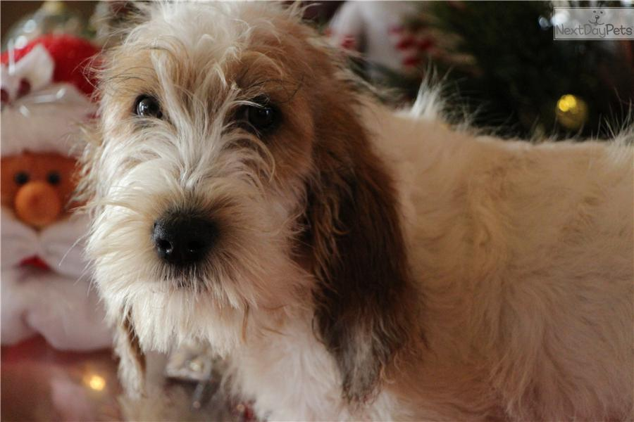 Basset Griffon Vendéen, Petit Puppies: Basset Bdf Breed
