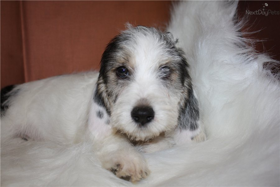 Basset Griffon Vendéen, Petit Puppies: Basset Fcc Breed