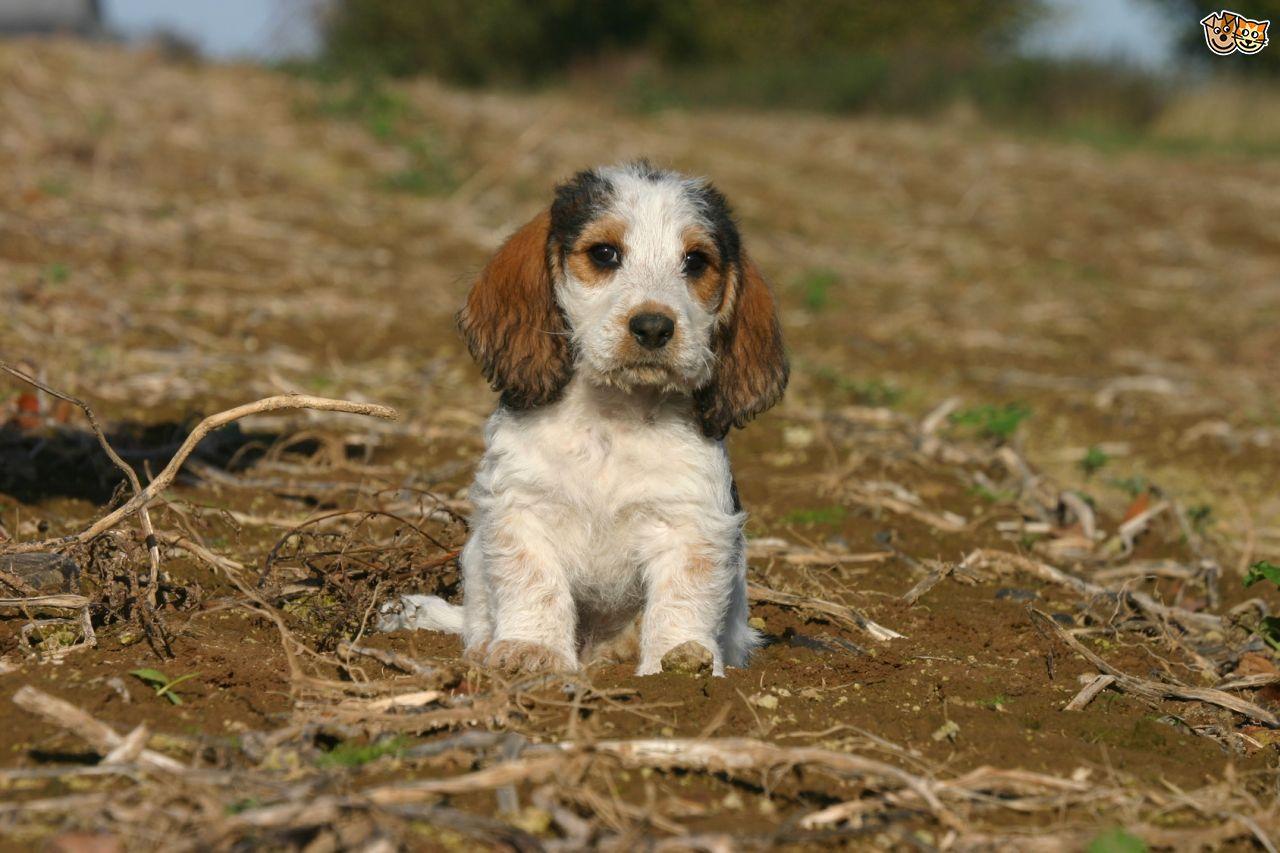 Basset Griffon Vendéen, Grand Puppies: Basset Grand Basset Griffon Vendeen Breed