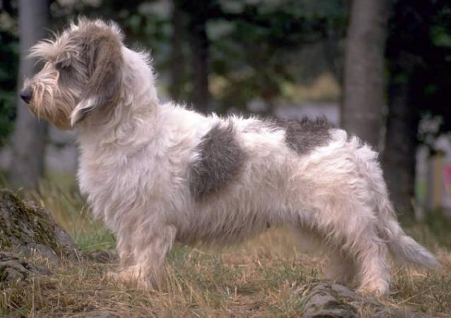 Basset Griffon Vendéen, Petit Dog: Basset Petit Basset Griffon Vendeen Wire Basket Dog Muzzles Size Chart Petit Basset Griffon Vendeen Muzzle Breed