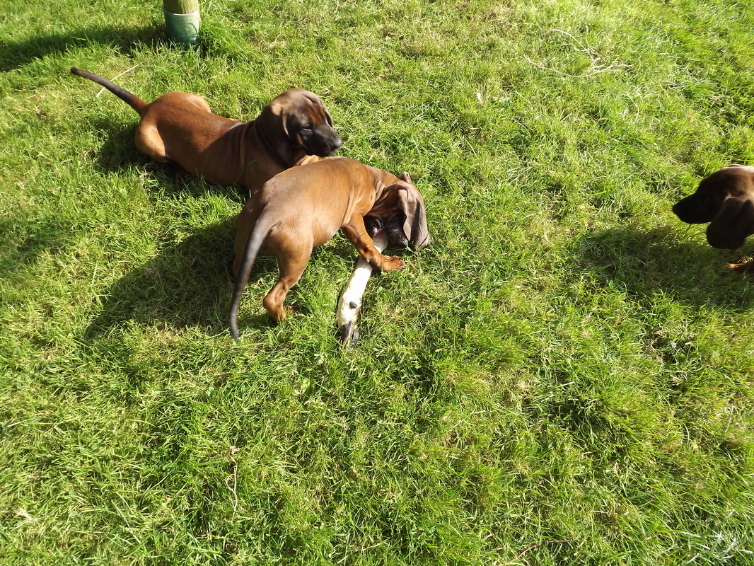 Bavarian Mountain Hound Puppies: Bavarian Pups For Sale Breed