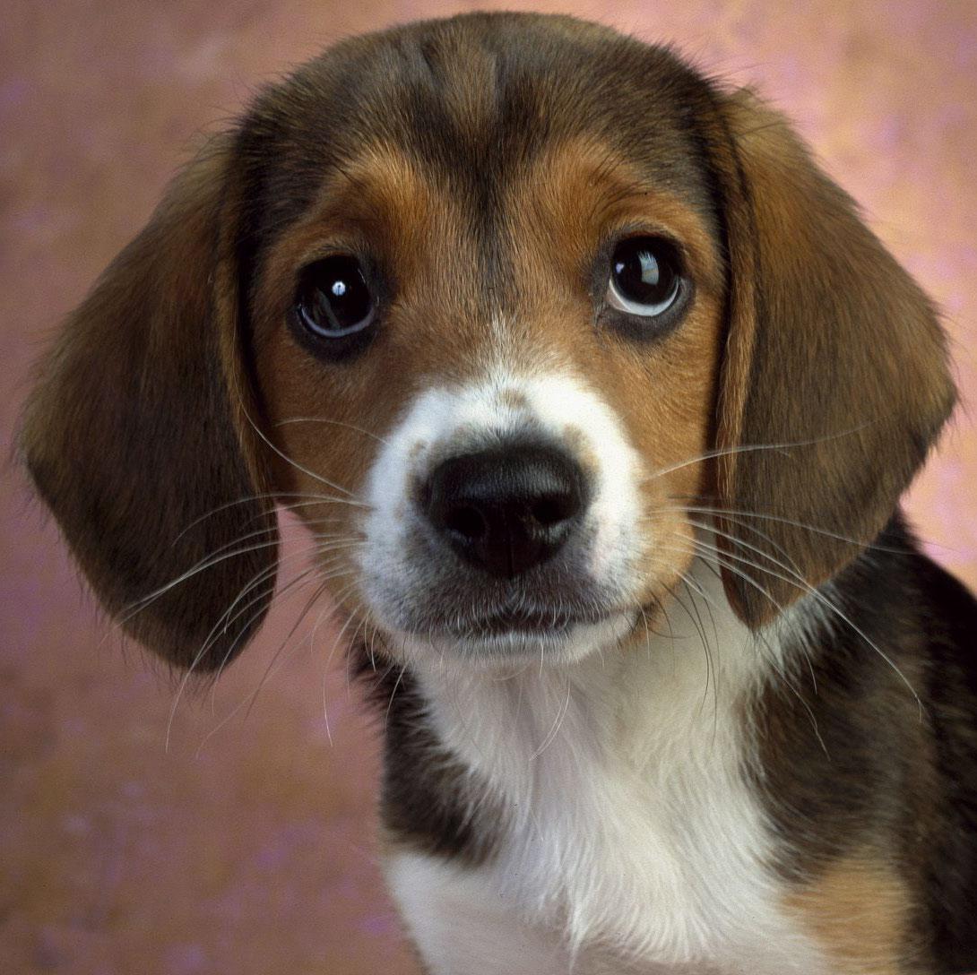 Beagle Puppies: Beagle Beagle Dogs Breed