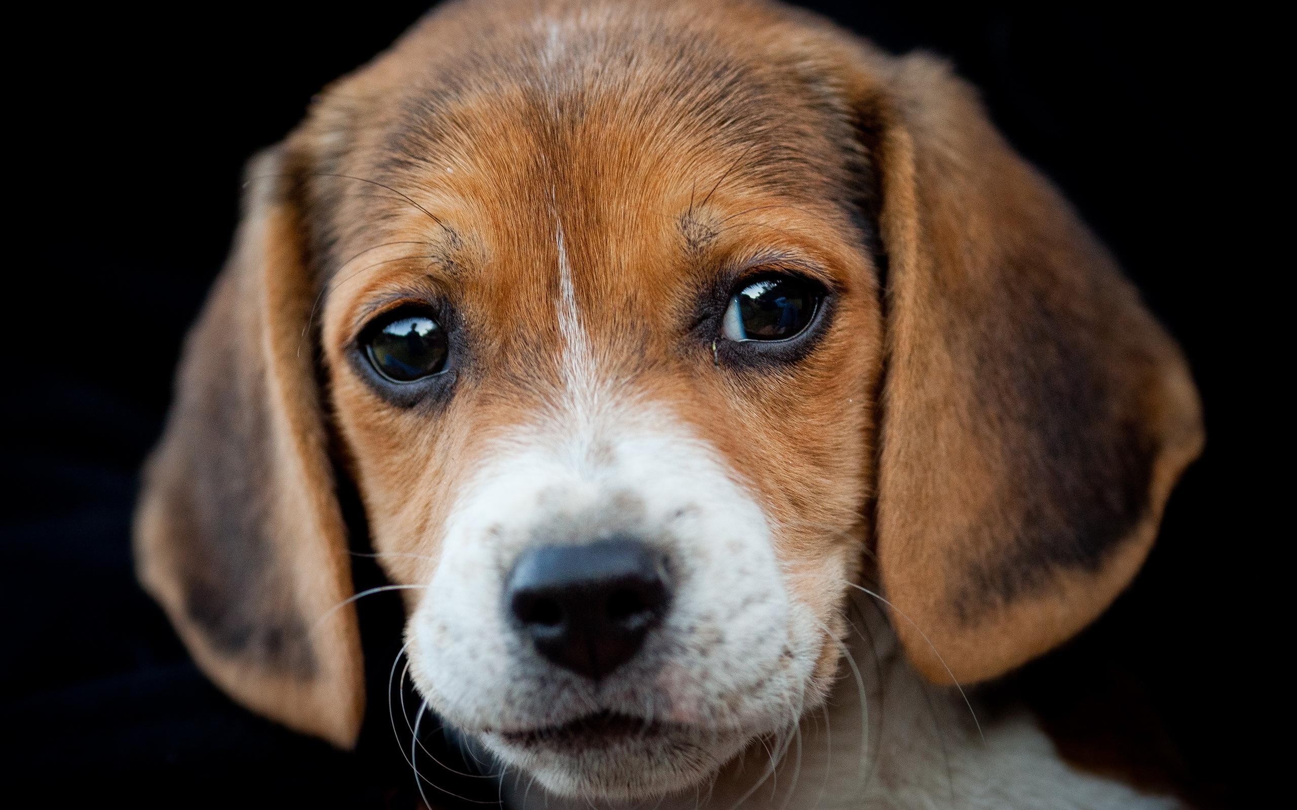 Beagle Puppies: Beagle Beagle Puppy Breed