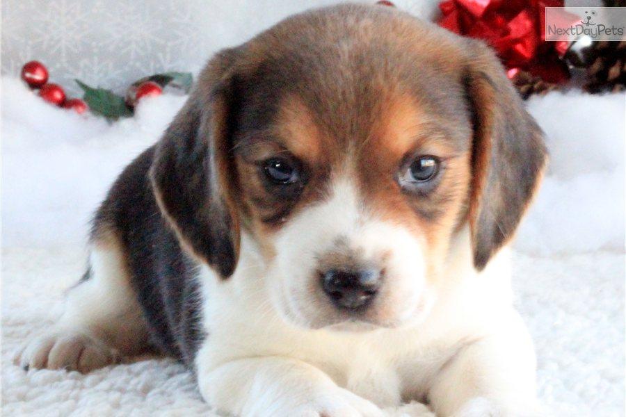 Beagle Puppies: Beagle Dc Breed