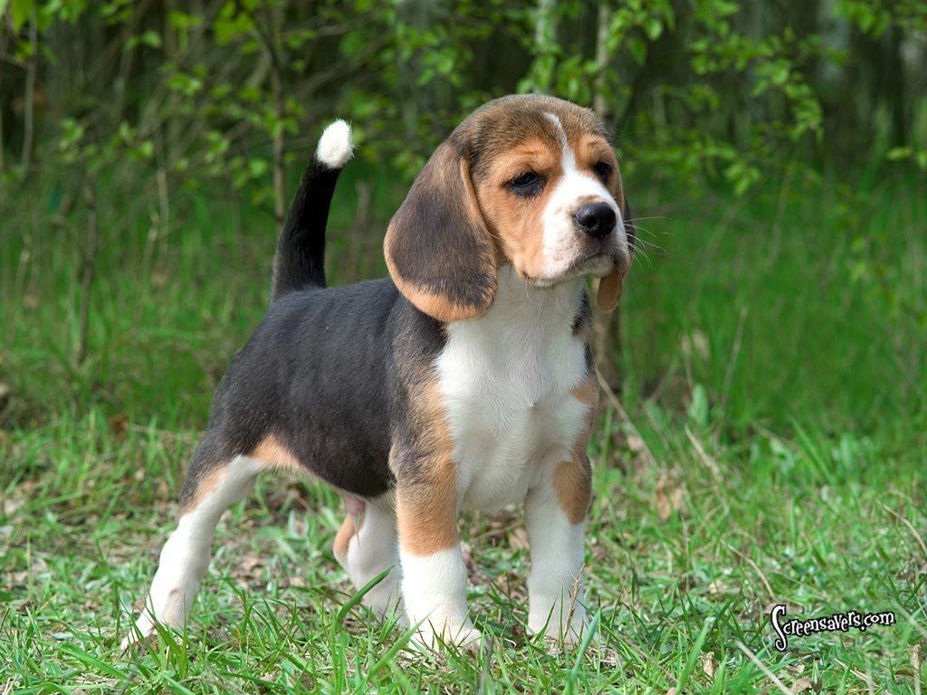 Beagle Puppies: Beagle Here Super Cute Beagle Breed