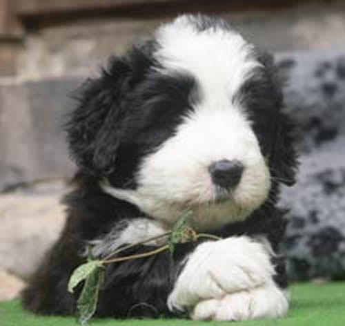 Bearded Collie Dog: Bearded Bearded Collie At Dogpacer Breed