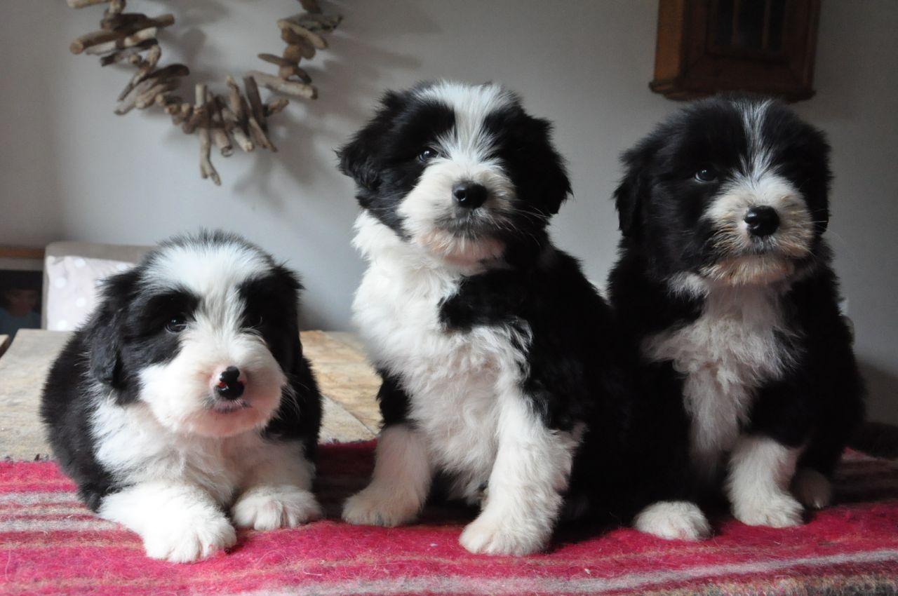 Bearded Collie Puppies: Bearded Bearded Collie Puppies Lydney Breed