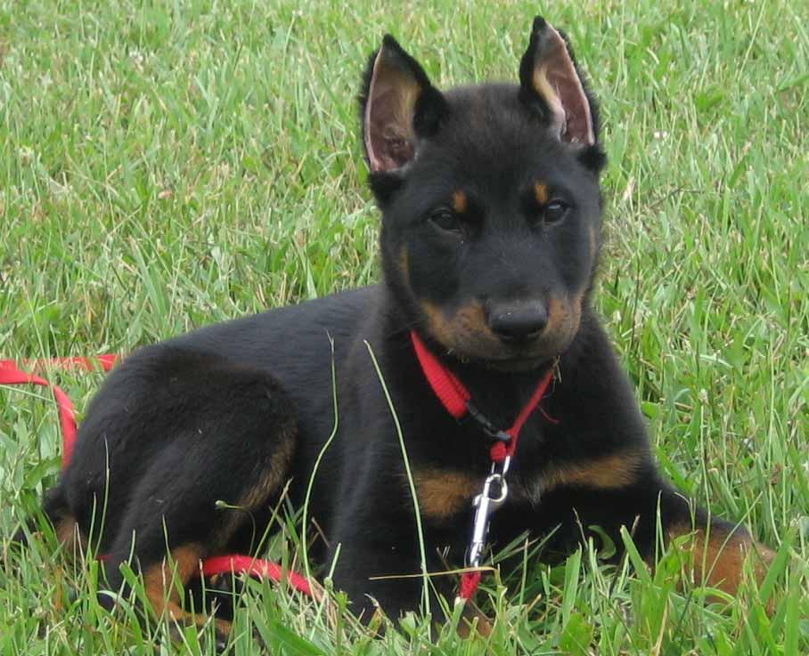 Beauceron Dog: Beauceron Beauceron Breed