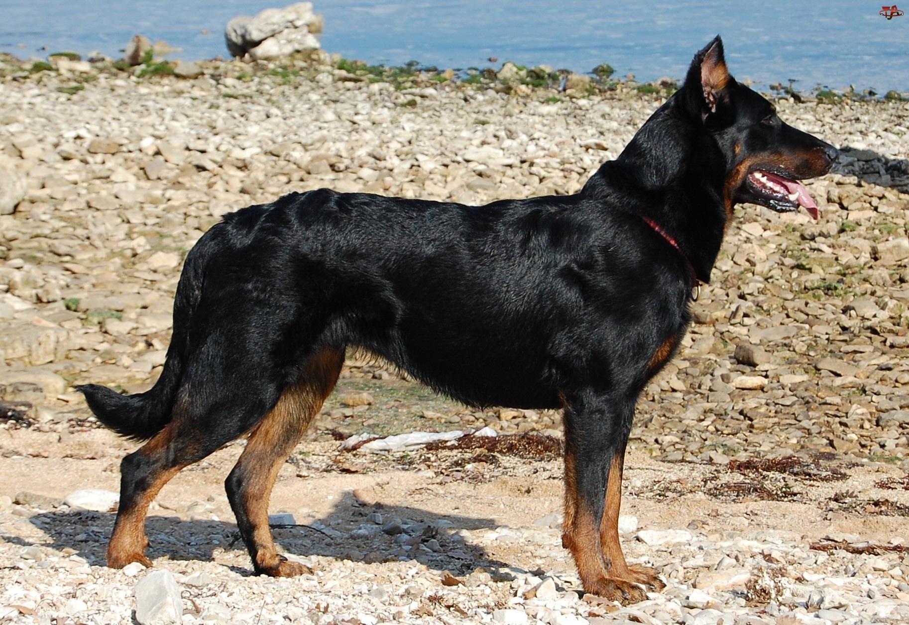 Beauceron Dog: Beauceron Beauceron Dog On Beach Breed