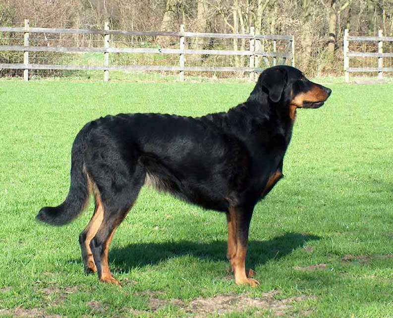 Beauceron Dog: Beauceron Beauceron Pictures Breed