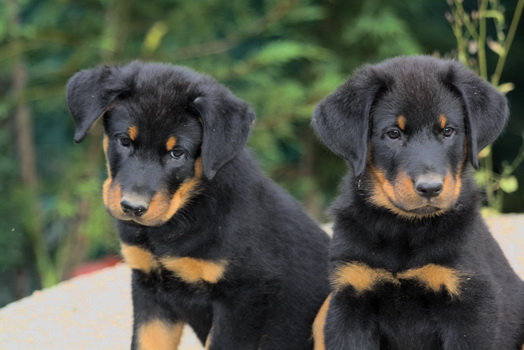 Beauceron Puppies: Beauceron Beauceron Puppies Pictures Information Breed