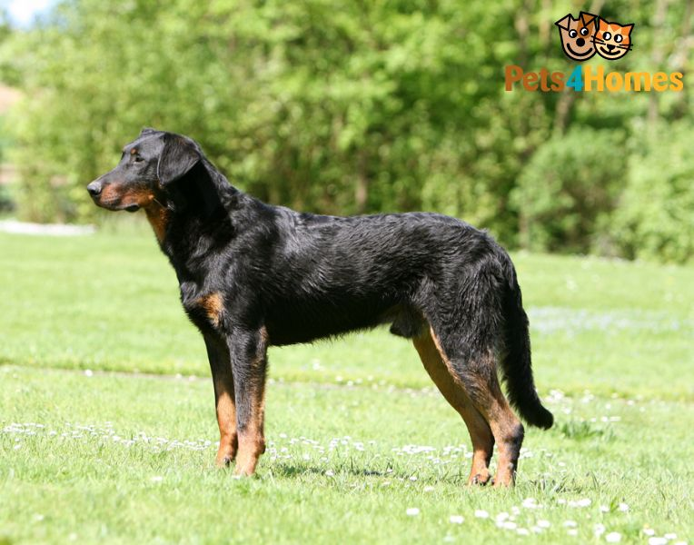 Beauceron Dog: Beauceron Home Breed