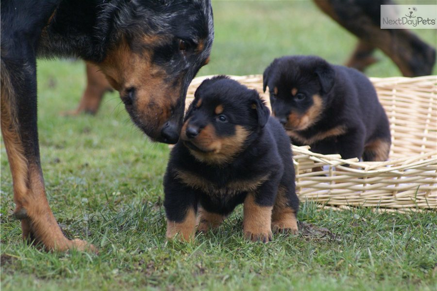 Beauceron Dog: Beauceron Know About Beauceron Breed