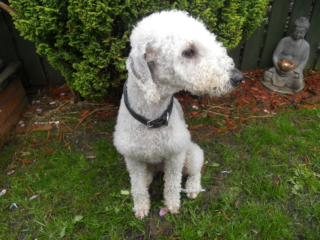 Bedlington Terrier Dog: Bedlington Bedlington Terrier Blue Dog For Stud Hartlepool Breed
