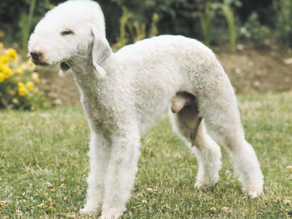 Bedlington Terrier Dog: Bedlington Bedlington Terrier Breed
