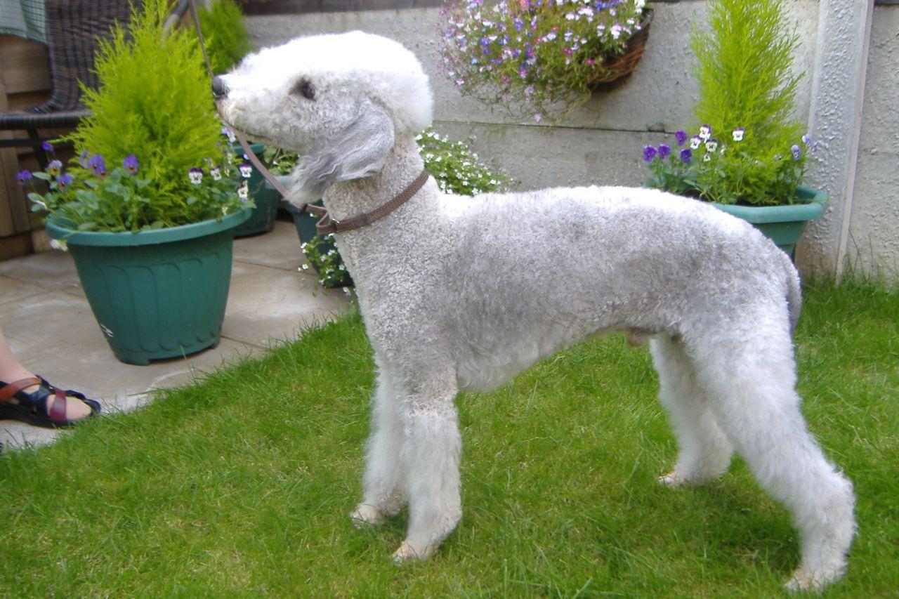 Bedlington Terrier Dog: Bedlington Bedlington Terrier Dog At Stud Barnsley Breed