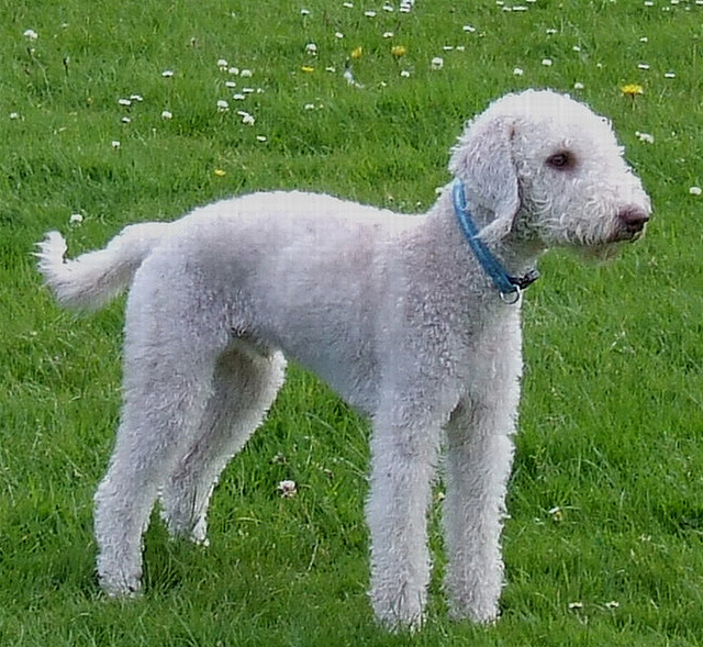 Bedlington Terrier Dog: Bedlington Bedlington Terrier Puppy Pictures Breed
