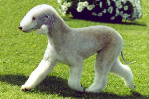 Bedlington Terrier Dog: Bedlington Unique Dog Breeds
