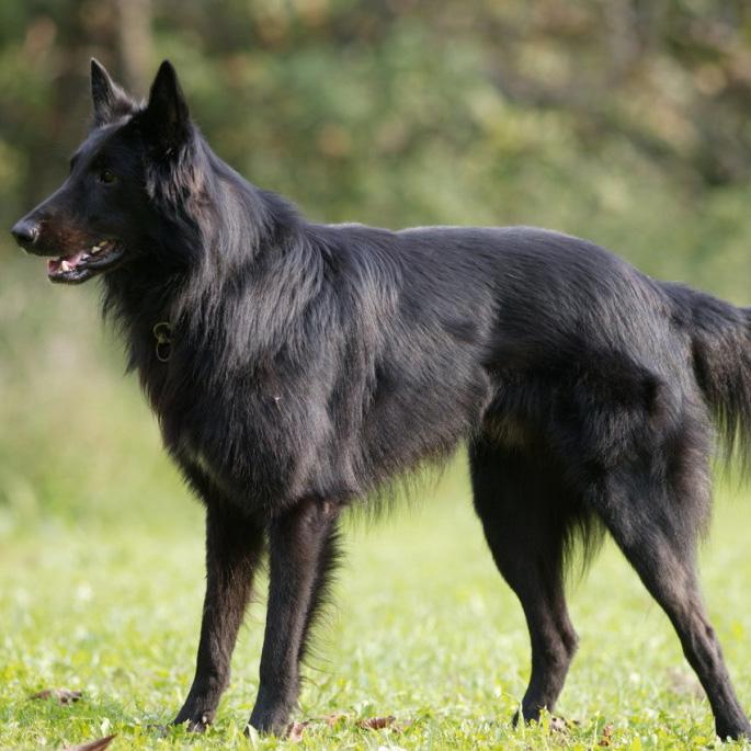 Belgian Shepherd (Groenendael) Puppies: Belgian Belgian Groenendael Dog Breed