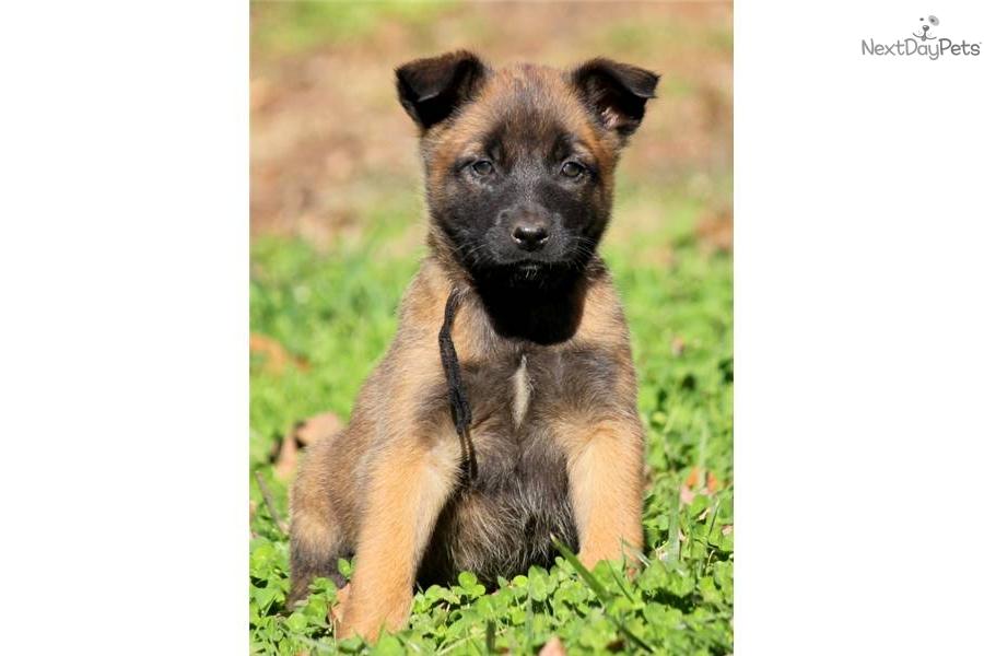 Belgian Shepherd (Malinois) Puppies: Belgian Belgian Shepherd Malinois Puppies Adoption Breed
