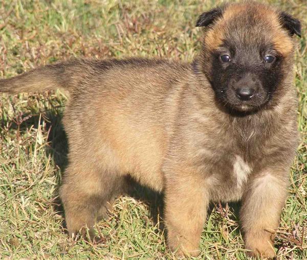 Belgian Shepherd (Malinois) Puppies: Belgian Belgian Shepherd Malinois Puppies P Breed