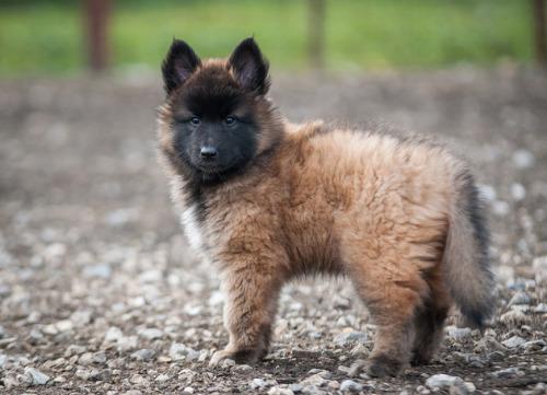 Belgian Shepherd (Tervuren) Puppies: Belgian Belgianshepherdtervuren Breed