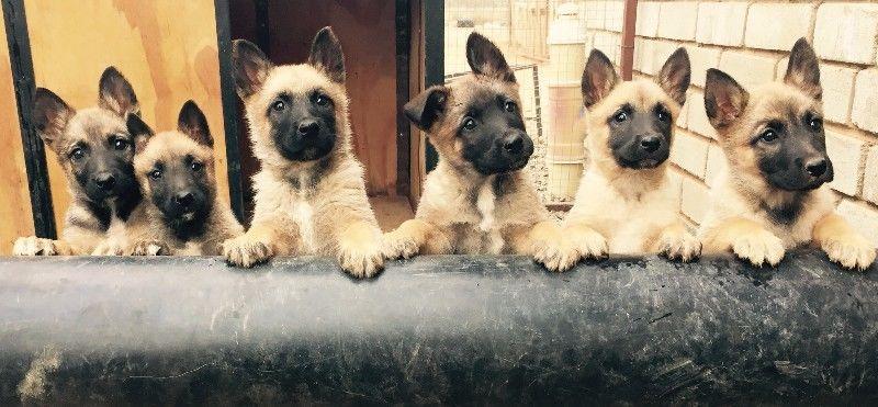 Belgian Shepherd (Malinois) Puppies: Belgian Breed