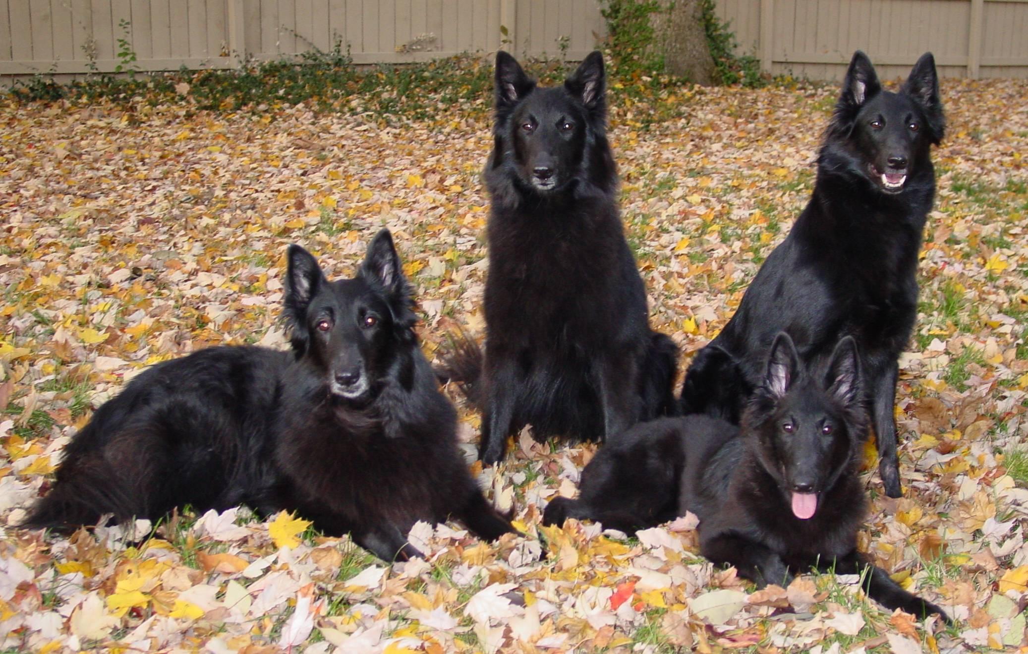 Belgian Shepherd (Groenendael) Puppies: Belgian Know About Belgian Shepherd Dog Groenendael Breed