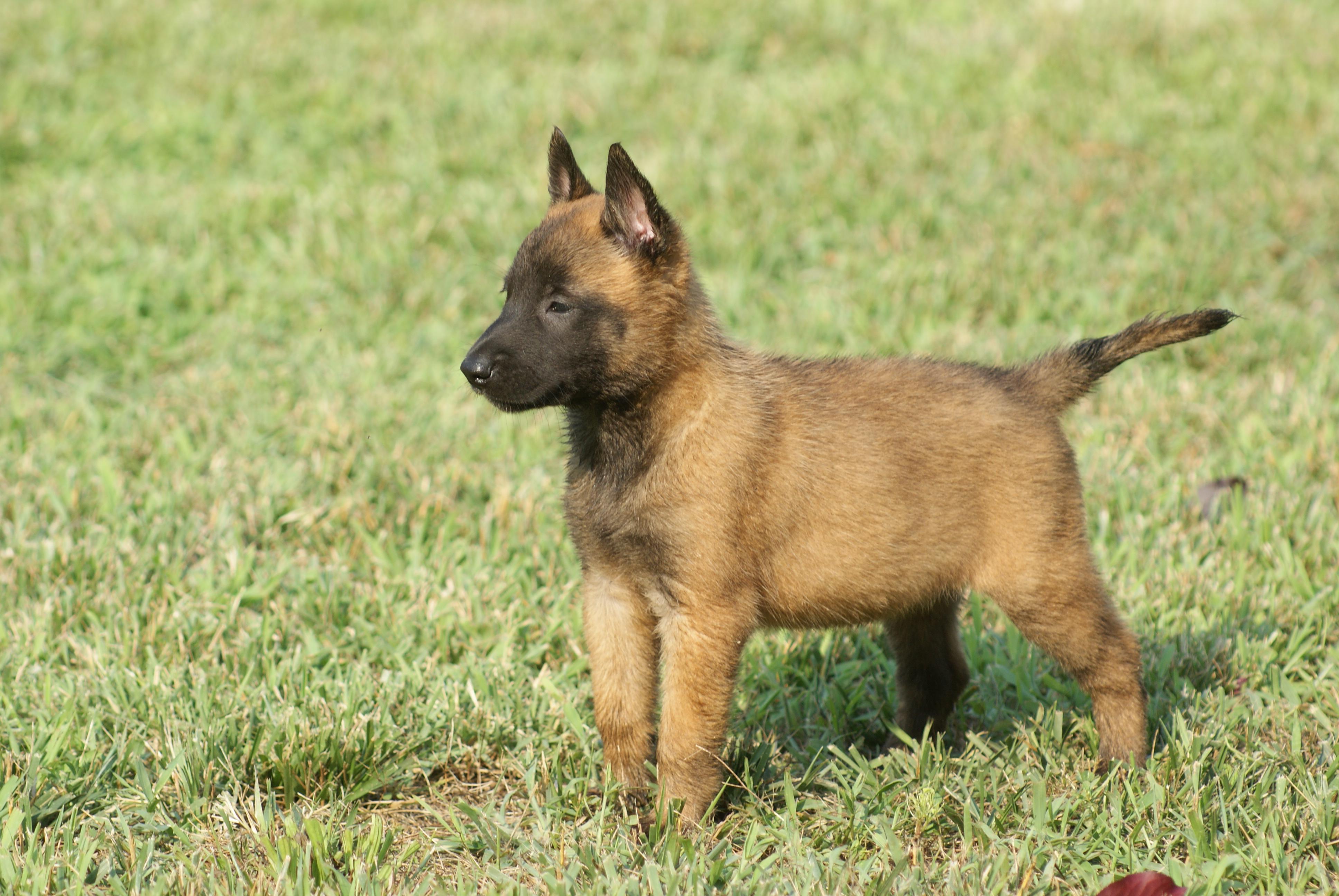 Belgian Shepherd (Malinois) Puppies: Belgian Puppies Breed