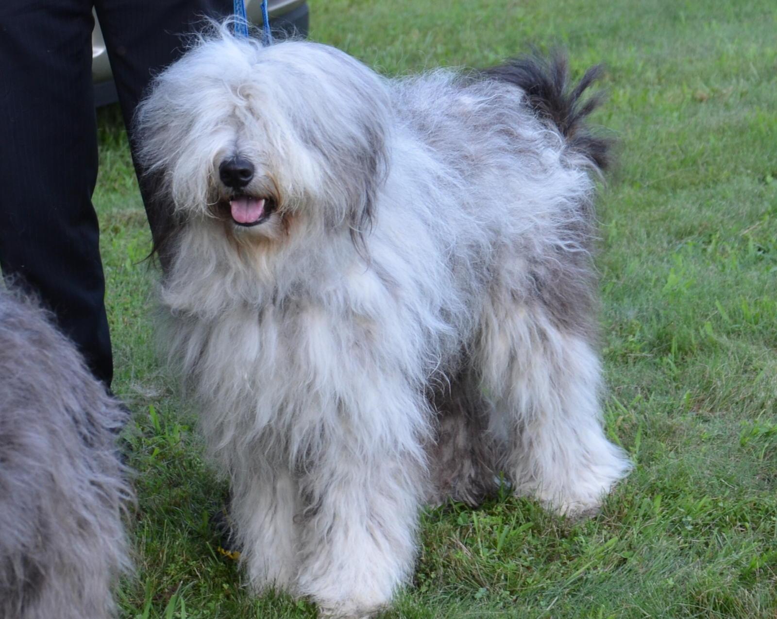 Bergamasco Shepherd Puppies: Bergamasco Bergamasco Shepherd Breed