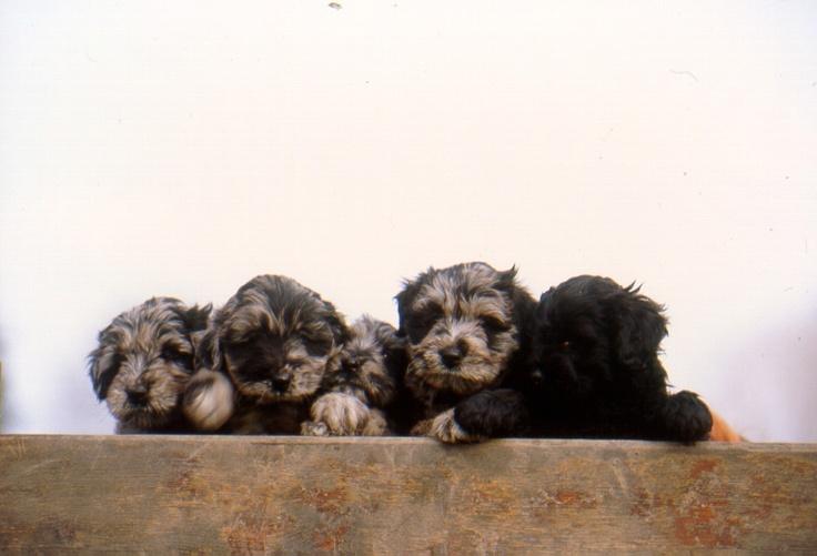 Bergamasco Shepherd Puppies: Bergamasco Breed