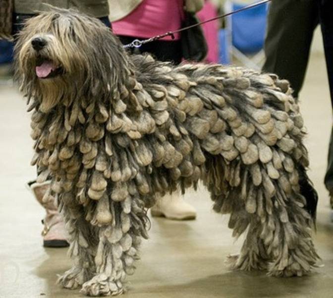 Bergamasco Shepherd Puppies: Bergamasco Dog Breeds That Shouldn Apos T Exist