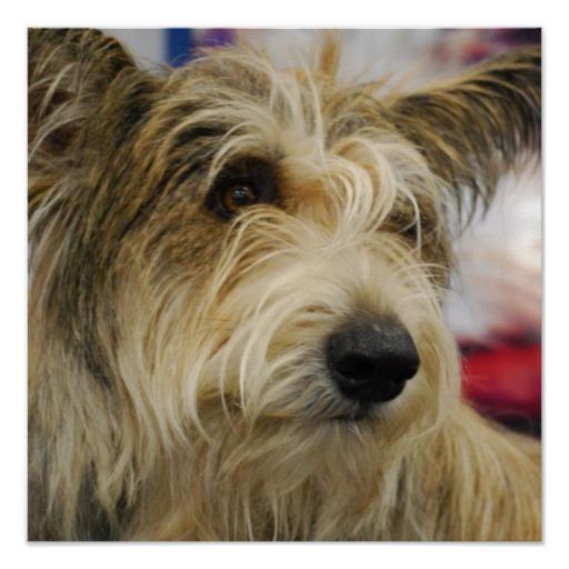 Berger Picard Dog: Berger Bergerpicarddogposter Breed